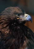 close up of Eastern imperial eagle