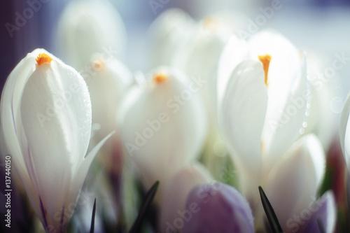 snowdrops first white crocus wild flowers spring snow © kichigin19