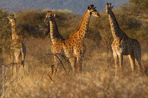 Poster Giraffe, Madikwe Game Reserve