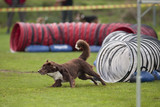 Dog running out of tunnel in agility