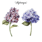 Hydrangea and leaves, watercolor, can be used as greeting card, invitation card for wedding, birthday and other holiday and  summer background. - 137458595