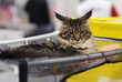 Maine Coon at cat show, Moscow.