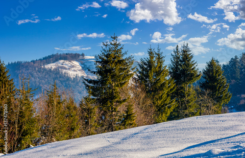 spruce forest on snowy meadow in high mountains