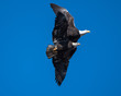 Two mature bald eagles flying close pt 3