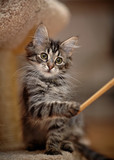 Striped kitten plays with a stick.