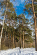 Winter sunny day in a pine forest