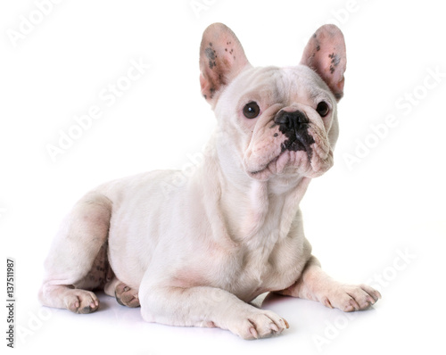 Poster french bulldog in studio