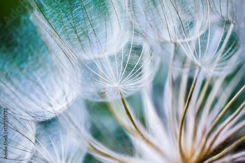 Tragopogon pseudomajor S. Nikit. Dandelion