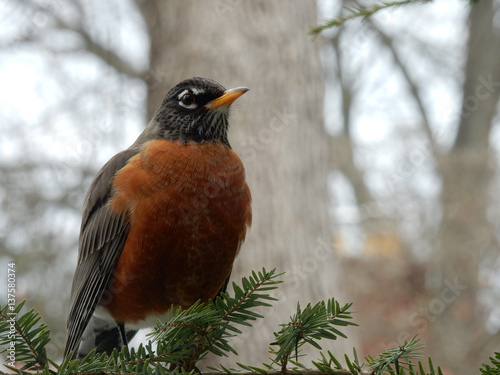 Poster Robin, up close in the winter