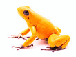 most poisonous poison dart frog, Phyllobatee terribilis, toxic animal from the Amazon rain forest
