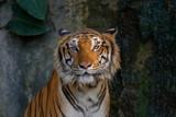 Head of tiger.