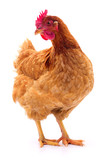 Brown hen isolated. - 137591308