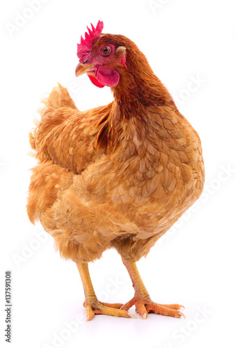 Brown hen isolated. Poster