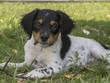 Постер, плакат: Cane da ferma Epagneul Breton Breton tricolore cucciolo disteso in un prato