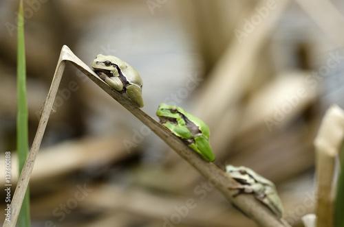Aluminium Kikker Europaean tree frog Hyla arborea emerging from water in spring