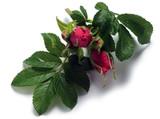 ᎫᏔᏍᏲᏍᏗ Hoa hồng Rosen نبات Roos ورد Τριανταφυλλιά ורד Ruusut Rosa Vrtnica Rós Fiore Rosier Մասրենի  בושם 장미 Prave ruže ಗುಲಾಬಿ Rozo Gul Flower गुलाब Rose Flor バラ