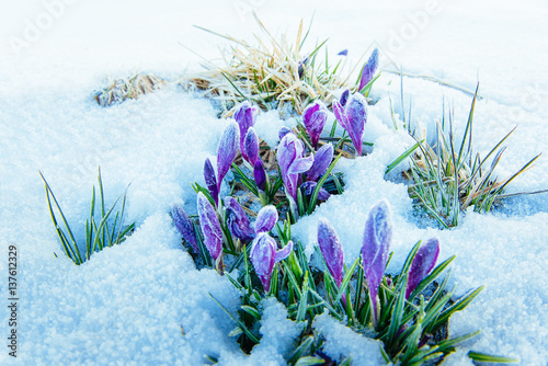 Spring crocuses in melting snow