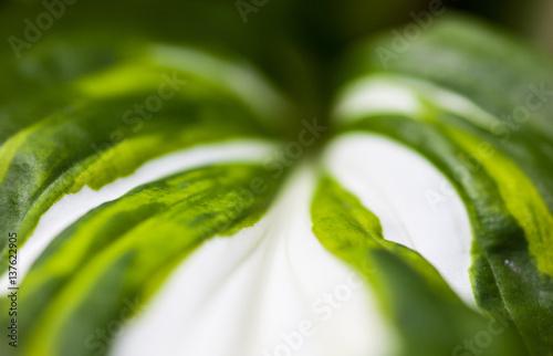Grün-weißes Blatt von Hosta
