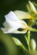 Nerium oleander white flowers and buds