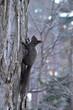 木を登る冬のエゾリス