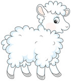 White curly sheep