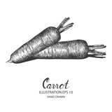 Carrot hand drawn illustration by ink and pen sketch. Isolated vector design for fruit and vegetable products and health care goods.