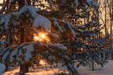 forest pine snow sunset winter