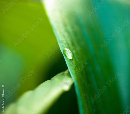 Tautropfen auf hosta grünes Blatt