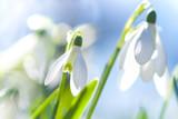 Schneeglöckchen (Galanthus sp.) im Frühling, Frühlingserwachen, März, Niedersachsen, Deutschland, Europa