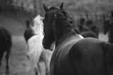 Monochrome image of horses on the nature. Black and white background photo