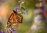 Monarch butterfly on purple salvia