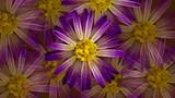 purple daisy flowers spinning
