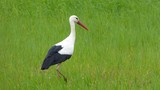 White stork (Ciconia ciconia) on a green meadow.