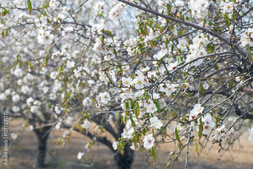 Closeup on almond tree branches Poster