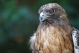Beautiful Hawk Portrait