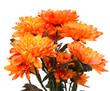 orange chrysanthemums on a white backgroundorange chrysanthemums on a white background