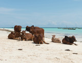 group of resting african brown cows on sandy Zanzibar beach