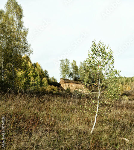 Lonely young birch in the glade in autumn
