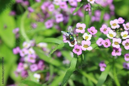 Hintergrund von rosa Blumen alissum und Fliege 8218