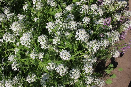 Hintergrund von weißen und rosa Blumen alissum 8368