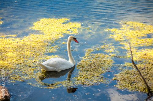 Adult swan swimming at pond
