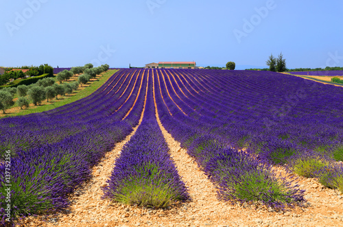 Fotobehang Lavendel Lignes d'un champ de lavandin