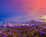 Blossom carpet of violet crocuses flowers in the mountains at sunrise.