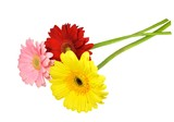 Three colored gerbera flowers in yellow, pink and red. Isolated on white background