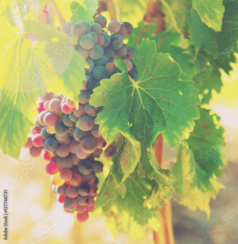 bunch of grapes at vineyards plant