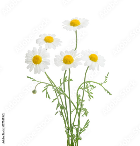 Foto op Canvas Madeliefjes Chamomiles isolated on white background. without shadow