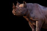 Portait of a wild Black Rhino in Masai Mara, Kenya