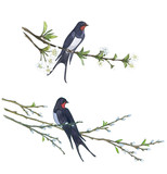 Swallow on willow tree. Hand drawn illustrations - 137775344