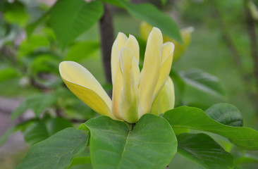 Gelbe Magnolie (Magnolia brooklynensis)