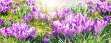 Frühlingserwachen, Ostergruß, Alles Liebe, Glück, Freude: Wiese mit zarten Krokussen :)